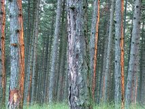 Dense pine forest. Pine forest. Endemic pine forest trees, tall forest stock photo