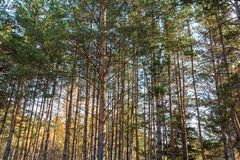 Dense pine forest. A dense pine forest autumn Royalty Free Stock Images