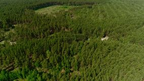 Dense pine forest crossed by road and glades aerial view