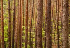 Dense pine forest Royalty Free Stock Photo