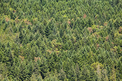Dense pine forest Royalty Free Stock Photography