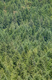 Dense pine forest Royalty Free Stock Images
