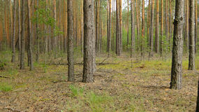 Dense, pine forest royalty free stock photos