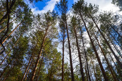 Dense pine forest. Stock Images