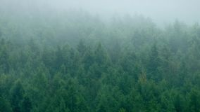 Dense Pine Forest In The Mist stock video