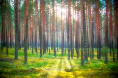 Pine trees at sunrise Royalty Free Stock Images