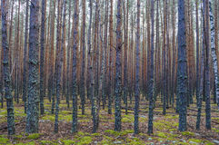Dense pine forest. Stock Photo