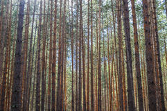 Dense pine forest. Royalty Free Stock Photo