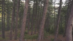 Dense pine forest in summer. Stock. Inside of dark pine forest in windy weather. Brown thin pine trunks with curved. Branches . Beautiful wild nature of forest stock video