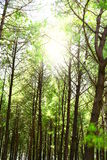 Dense pine tree forest in foothills of Himalaya with sunlight coming through the trees Royalty Free Stock Images