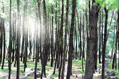 Dense pine tree forest in foothills of Himalaya with sunlight coming through the trees Royalty Free Stock Photos