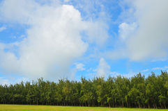 Dense Pine Trees. A beautiful view of pine trees in the inland of Mauritius royalty free stock photography