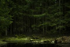 Dense pine trees forest texture Lithuania. Dense pine trees forest texture stock photos
