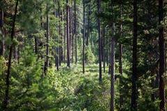 Free Dense Piney Woods Stock Photography - 39171062