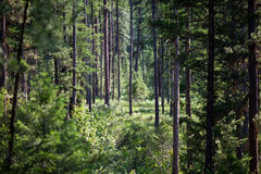 Dense Piney Woods Stock Photography