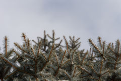 Dense plantation of small pine or fir trees Stock Photo
