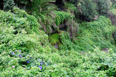 Dense Rainforest Foliage Stock Image