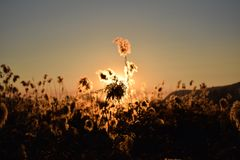 A dense reed at sunset in the bogs of Lake Iseo - Brescia Stock Image