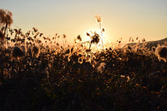 A dense reed at sunset in the bogs of Lake Iseo - Brescia Royalty Free Stock Photo