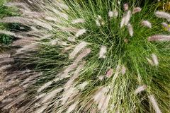 Clump of Fountain Grass  Pennisetum setaceum Royalty Free Stock Images