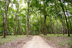 Dense Rubber Plantation Stock Images