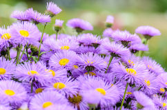 Dense shrub aster. With thin violet petals Royalty Free Stock Images