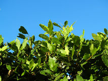 Dense shrub of laurel Stock Photos