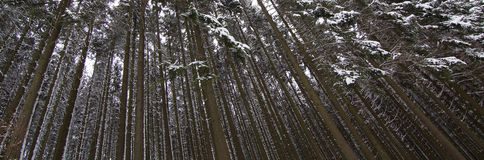 Dense snow covered pine forest Stock Image