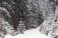 Dense snowy fir forest and road royalty free stock photo
