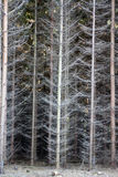 Dense spruce forest Stock Photo
