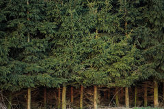 Dense spruce forest with dense spruce trunk Stock Photography