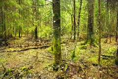 Dense spruce forest. Spring landscape with spruces.  royalty free stock photo