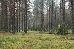 Dense spruce forest Royalty Free Stock Image