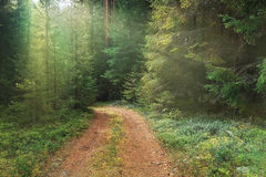 Dense spruce forest Stock Image