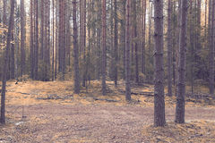 Dense spruce forest Stock Photography