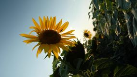 Dense sunflower, camera rotation 180 degrees. Deepening in densely growing sunflower, camera rotation by 180 degrees. A creative solution for shooting a field stock video footage