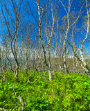 Dense terrestrial vegetation in the northern forest Royalty Free Stock Photography