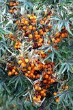 Dense thicket bushes with lot of curative ripe orange berries of sea buckthorn front view. Close-up royalty free stock photography