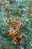 Dense thicket bushes with lot of curative ripe orange berries of sea buckthorn front view. Close-up stock photo