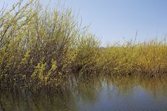 Dense thicket at reclaimed wetlands edge. Natural habitat restored at the Smith and Bybee wetlands, the largest protected wetlands with in city limits in the royalty free stock image