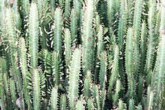 Dense thickets of cactus in the jungle. South Vietnam royalty free stock images