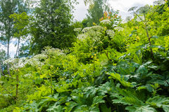 Dense thickets of Hogweed. Royalty Free Stock Image