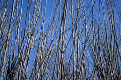 Dense tree branches against the blue sky. Naked tree branches on a blue sky background royalty free stock images