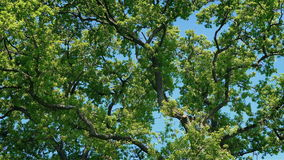 Dense tree branches on sunny day. Dense mass of tree branches on a bright blue sky stock video footage