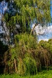 Dense tree crown weeping willow, summer day, August royalty free stock images
