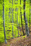 Dense trees Stock Image