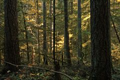Dense trees along a forested hiking trail. A dense stand of Douglas Fir evergreen trees and yellow leafed maples line the hiking trail of an old growth forest in royalty free stock image