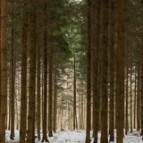 Dense trees during the Swiss winter. The trees make you feel claustrophobic they're standing so close together Royalty Free Stock Image
