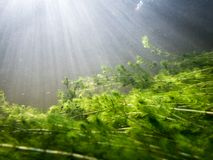 Dense underwater watermilfoil vegetation with sunrays. Dense underwater watermilfoil vegetation in clear-watered river in Finland with sunrays above Royalty Free Stock Photo