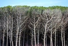 Dense vegetation sea pines Stock Photography